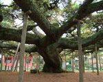[巨樹・奇樹] 都市型巨樹の横綱 影向の松(東京都江戸川区)