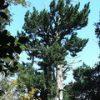 [巨樹・奇樹] **森の中にいる!** 吹山の高野槙(宮崎県)