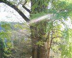 [巨樹・奇樹] 空へまっすぐ!去川の大イチョウ(宮崎県)