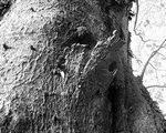 [巨樹・奇樹] 都の天然記念物・梅岩寺の大ケヤキ(東京都北多摩エリア)