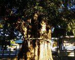 [巨樹・奇樹] 与野の大カヤを見た(さいたま市中央区)