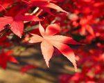 [紅葉] 燃ゆる武蔵野。平林寺の紅葉(埼玉県新座市)