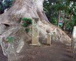 [巨樹・奇樹] 伝説はやけに多い剣柄稲荷の大クス(宮崎県)