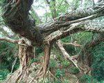 [巨樹・奇樹] 圧巻の樹根。宮崎市の巨樹・内海のアコウ(宮崎県)
