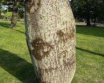 [巨樹・奇樹] 青島熱帯植物園へヨッパライの樹を見に行った(宮崎県)