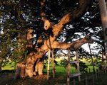 [巨樹・奇樹] エレファントなケヤキ 高瀬の大木(福島県)