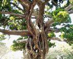 [巨樹・奇樹] 巨樹の幹に奇樹の枝